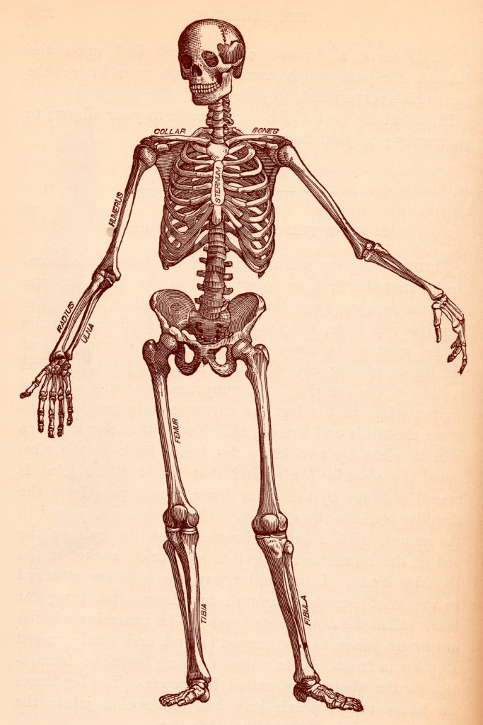 stockvault-human-skeleton-circa-1911148433